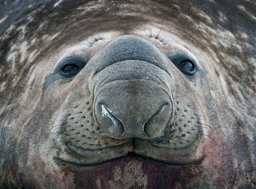 Reise in Antarktis, Eindrucksvolles Portrait eines See-Elefanten