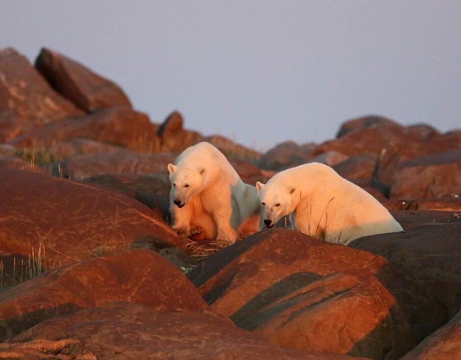 Reise in Kanada, Eisbärsichtung am Abend