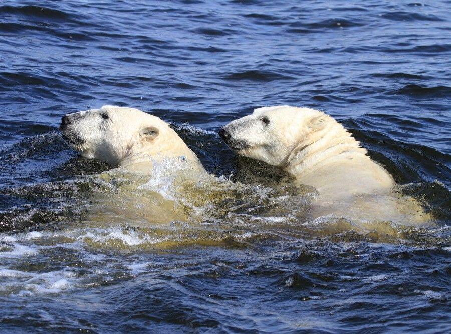 Reise in Kanada, Eisbärbeobachtung hautnah