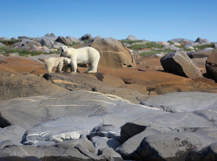 Reise in Kanada, Eisbärmutter mit Jungtier