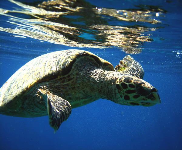Reise in Indonesien, Schildkröte in den Gewässern um Lombok