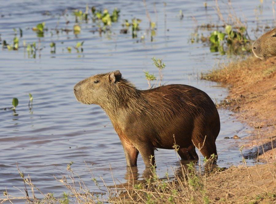 Reise in Venezuela, Wasserschwein in den Llanos