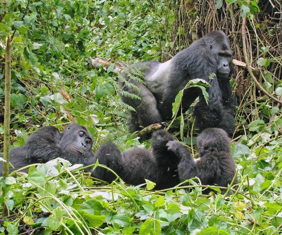 Reise in Demokratische Republik Kongo, Flachlandgorillas im Kahuzi Biega Nationalpark
