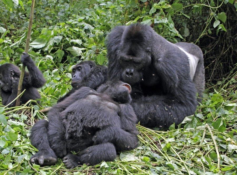 Reise in Demokratische Republik Kongo, Gorillafamilie
