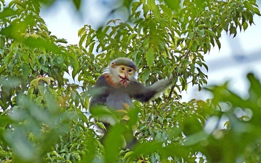 Reise in Vietnam, Grauschenkliger Kleideraffe (Pygathrix cinerea)