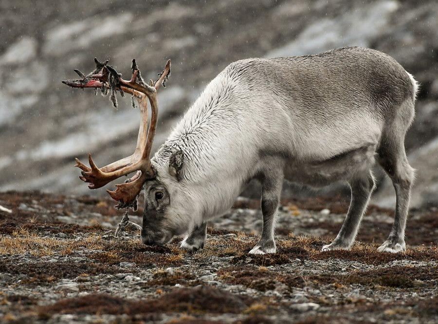 Reise in Grönland, Spitzbergen-Rentier
