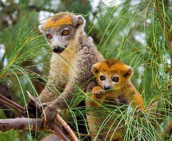 Reise in Madagaskar, Zwei wachsame Lemuren