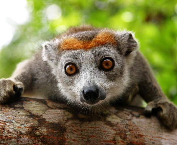 Reise in Madagaskar, Neugieriger Lemur