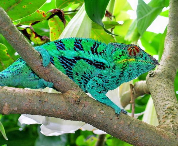 Reise in Madagaskar, Farbenprächtiges Chamäleon