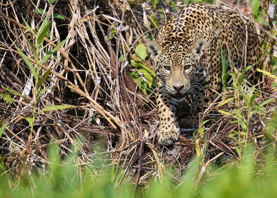 Reise in Brasilien, Jaguar