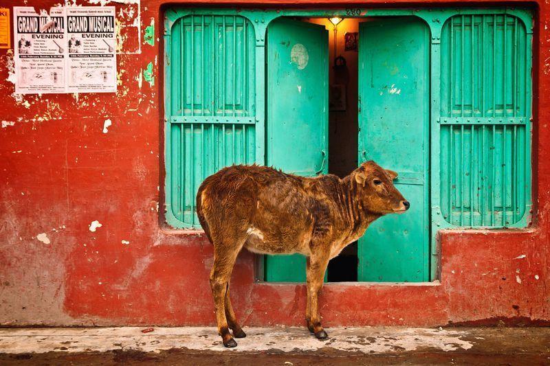 Reise in Indien, Kühe sind in weiten Teilen Indiens heilige Tiere