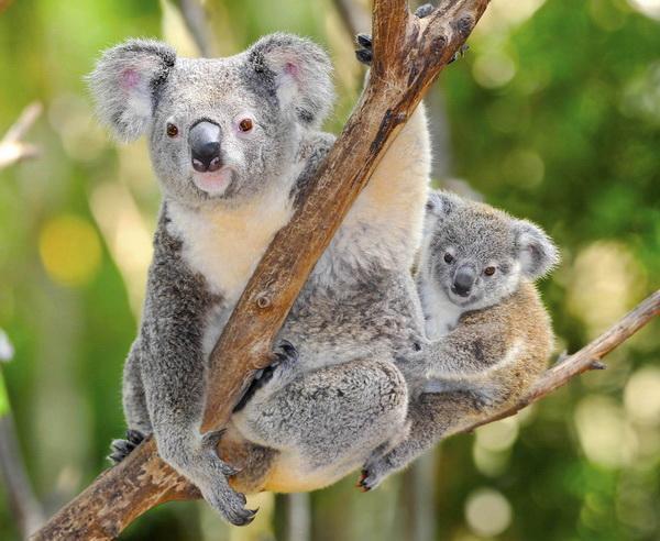 """Reise in Australien, Australischer Koala mit Baby """"Joey"""" im Eukalyptus Baum"""