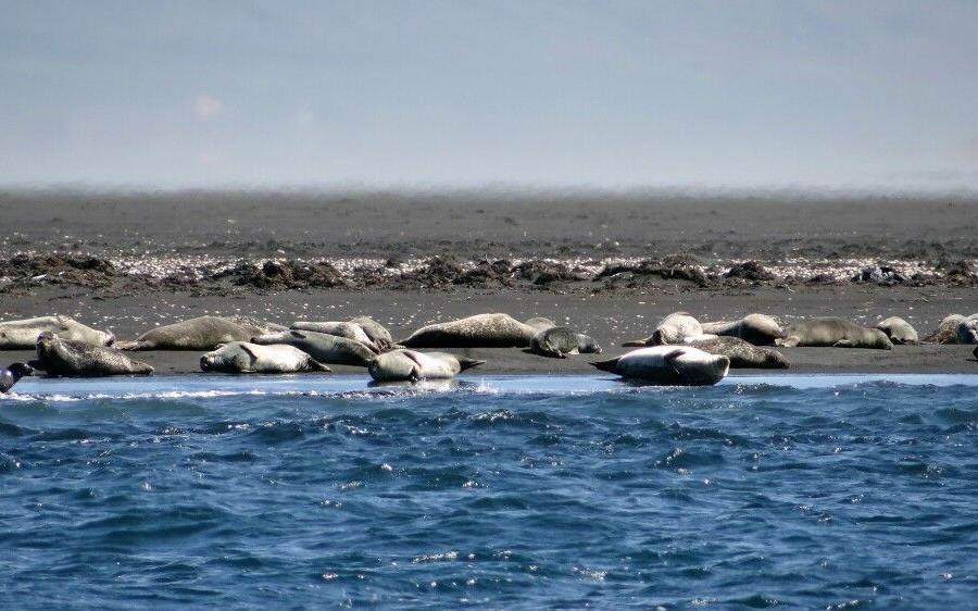 Reise in Island, Seehunde bei Hvitserkur