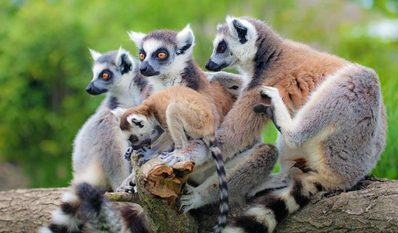 Reise in Madagaskar, Lemuren
