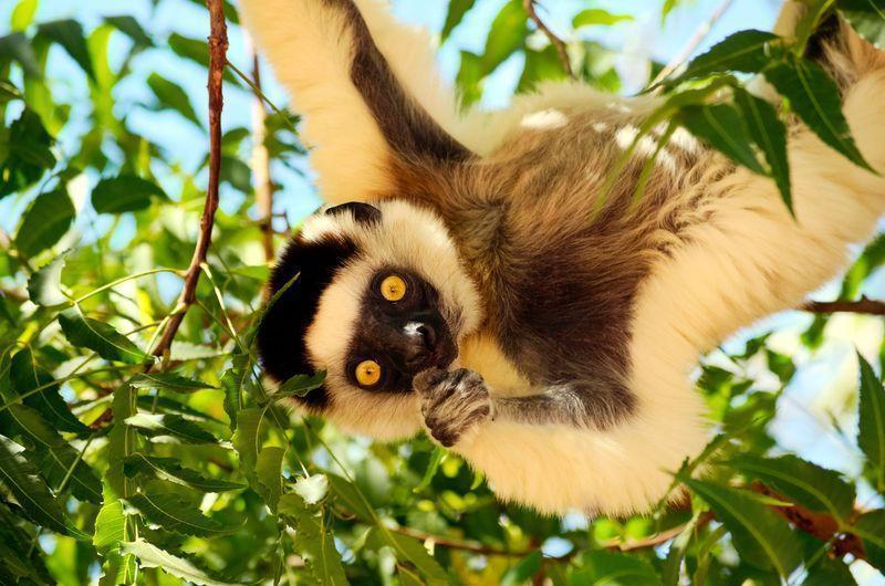 Reise in Madagaskar, Sifakas unterwegs in den Bäumen Madagaskars