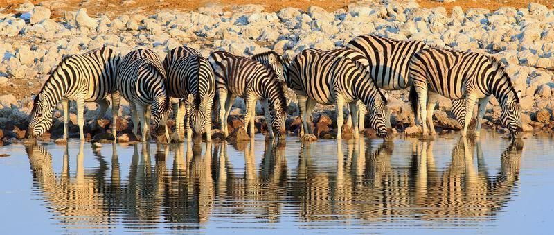 Reise in Namibia, Zebras im Etosha Nationalpark