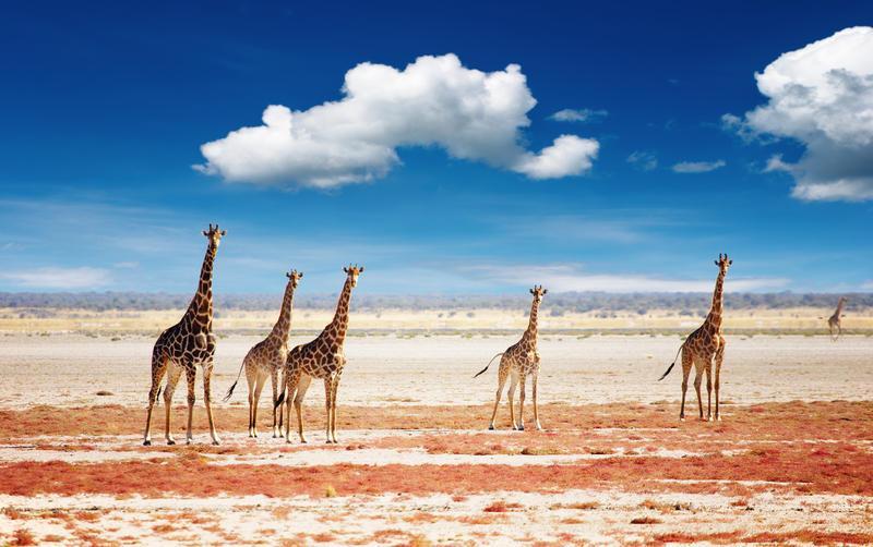Reise in Namibia, Giraffen im Etosha Nationalpark