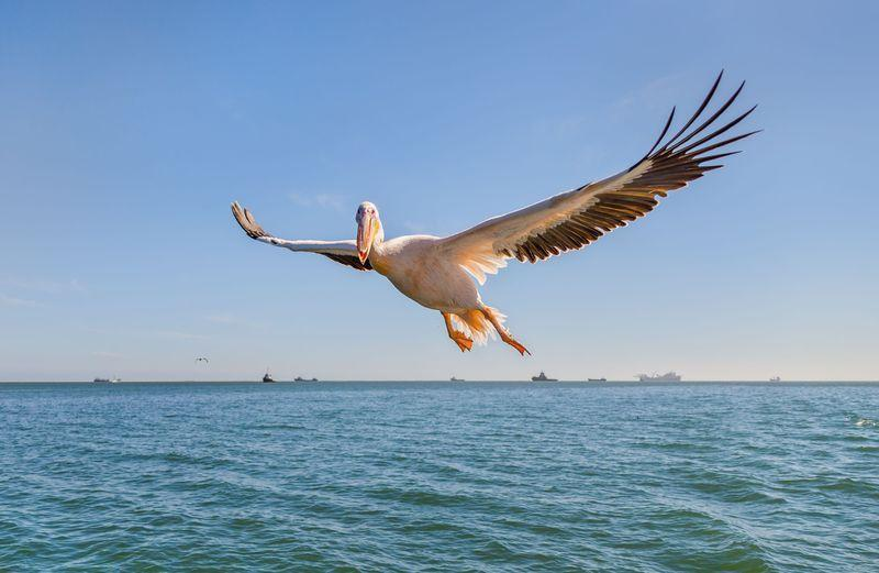Reise in Namibia, Tieffliegende Pelikan in der Walvis Bay, Namibia