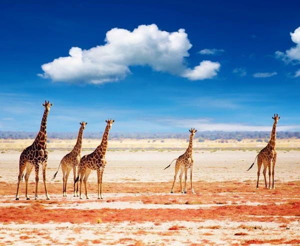 Reise in Namibia, Giraffenherde im Etosha-Nationalpark
