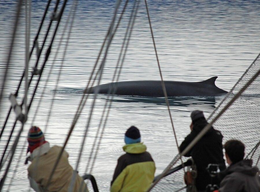 Reise in Arktis, Walsichtung direkt neben der Antigua