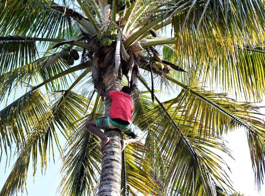 Reise in Mosambik, Ernte von grünen Kokosnüssen (Surra) in Inhambane