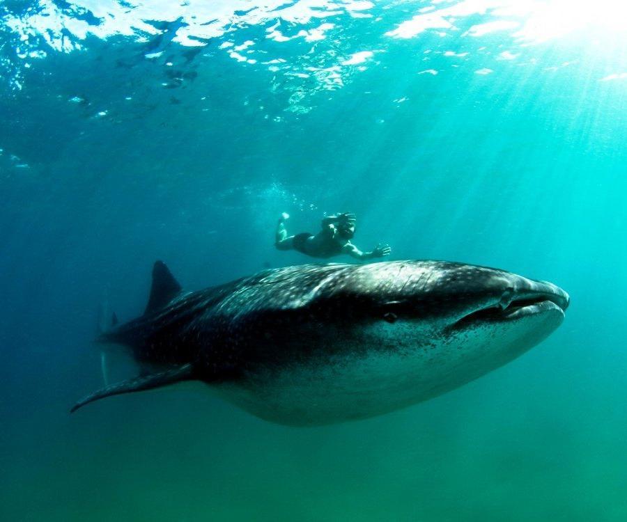 Reise in Mosambik, Schwimmen und Schnorcheln mit Walhaien vor der Küste Inhambanes