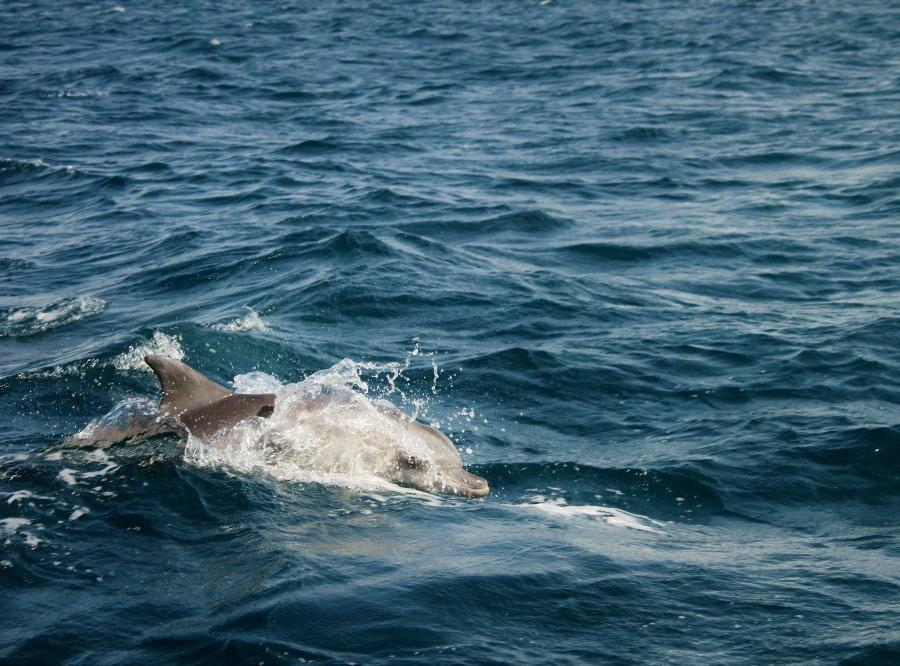 Reise in Mosambik, Delfin im Bazaruto-Archipel