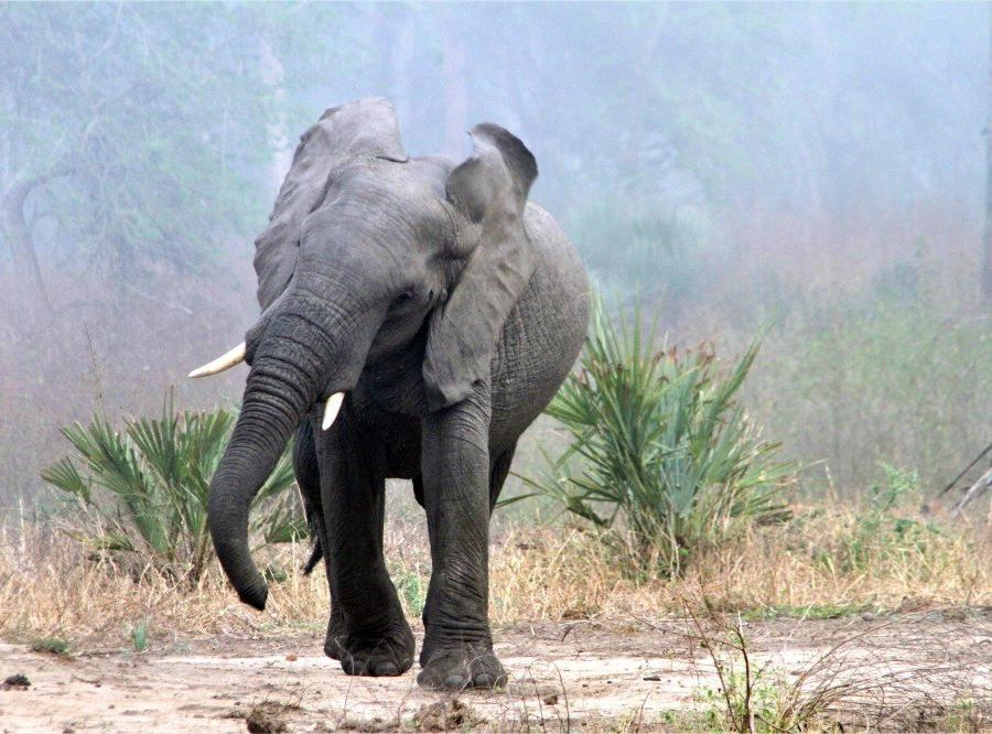 Reise in Mosambik, Drohender Elefantenbulle im Morgennebel, Gorongosa-Nationalpark