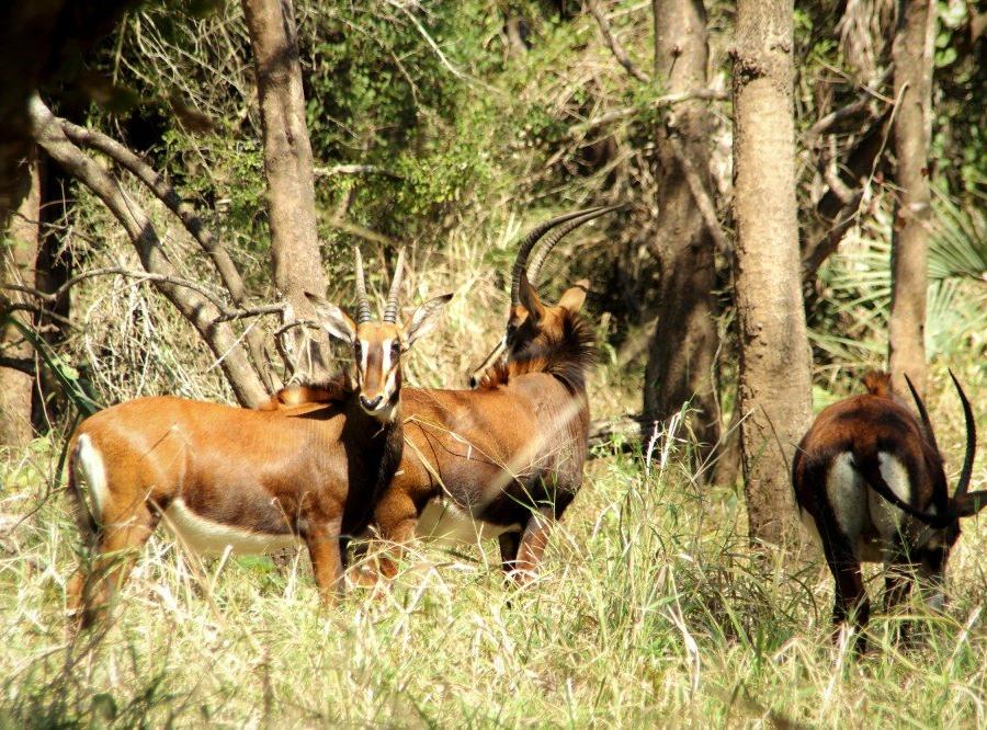 Reise in Mosambik, Rappenantilopen im Gorongosa-Nationalpark