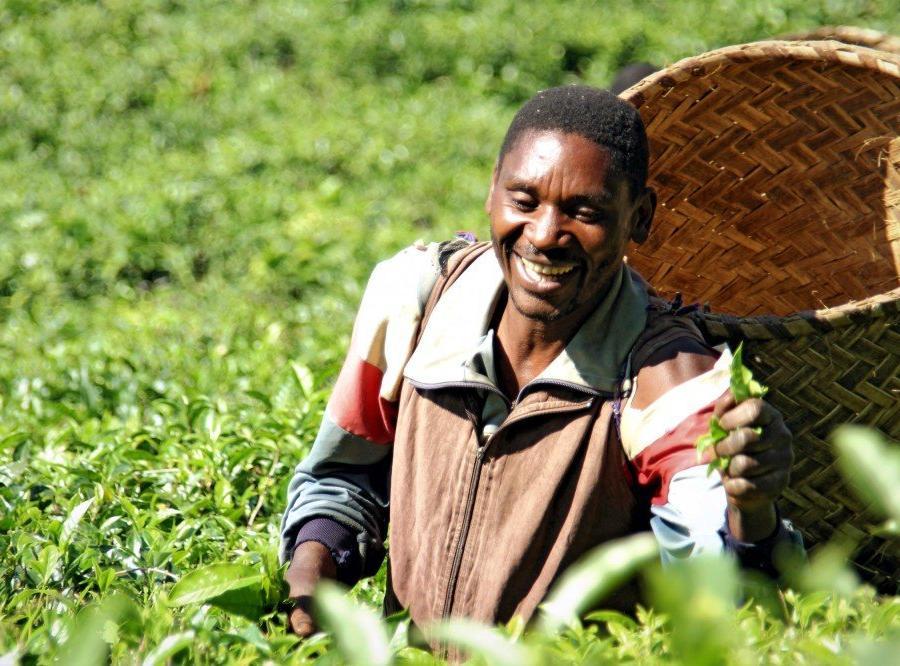 Reise in Mosambik, Teepflücker in den Plantagen von Gurué, Zambézia-Provinz