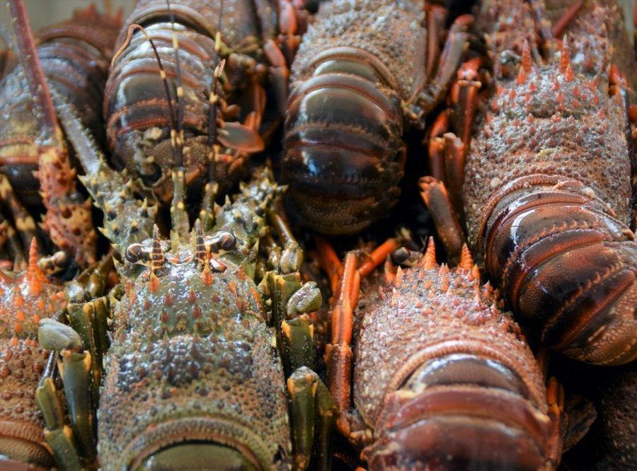 Reise in Mosambik, Langusten auf dem Fischmarkt in Maputo