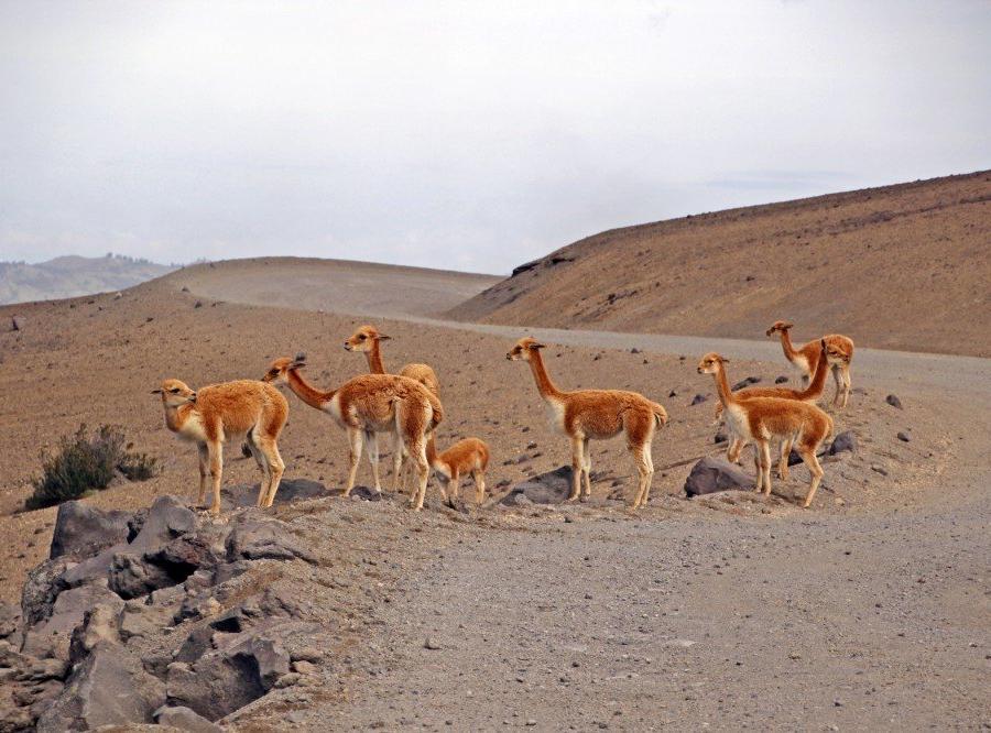 Reise in Ecuador, Vicuñas am Chimborazo