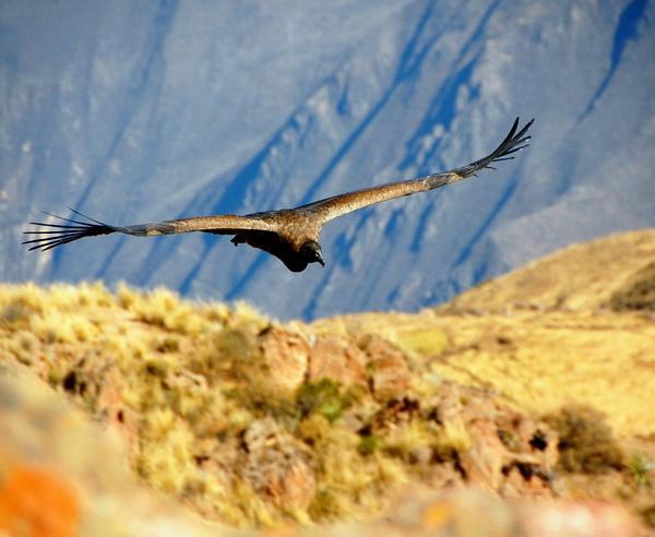 Reise in Peru, Anden-Condor