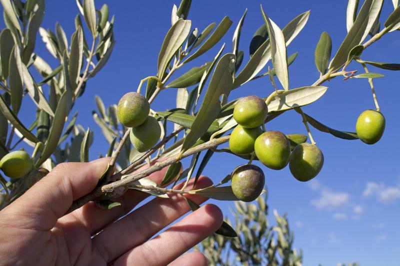 Reise in Portugal, Wir erfahren Interessantes über portugiesisches Olivenöl