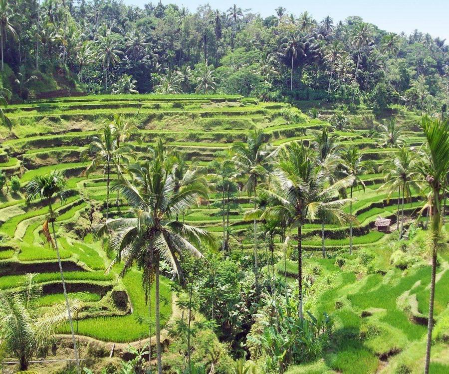 Reise in Indonesien, Reisterrassen auf Bali
