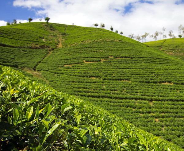 Reise in Sri Lanka, Teeplantage bei Nuwara Eliya