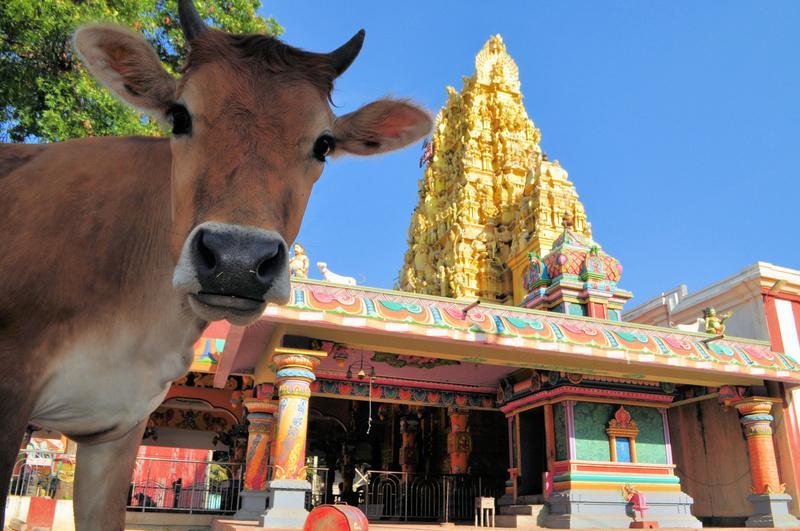 Reise in Sri Lanka, Auch auf Sri Lanka sind Kühe für Hindus heilig