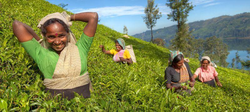 Reise in Sri Lanka, Die Reisegruppe lernt wie qualitativ hochwertiger Tee auf Sri Lanka gepflückt und verarbeitet wird