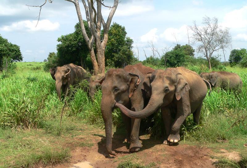 Reise in Sri Lanka, Elefanten im Udawalawe Nationalpark auf Sri Lanka
