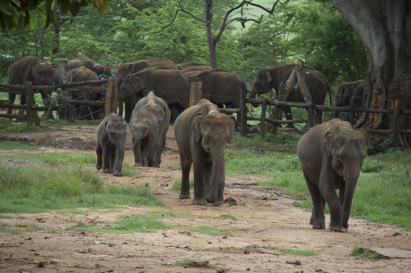 Reise in Sri Lanka, Elefantenwaisenhaus in Udawalawe, Sri Lanka