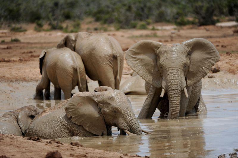 Reise in Südafrika, Elefanten beim baden @South African Tourism