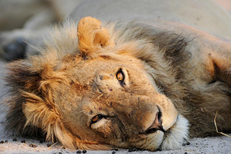 Reise in Südafrika, @Matthias Graben Der König der Tiere