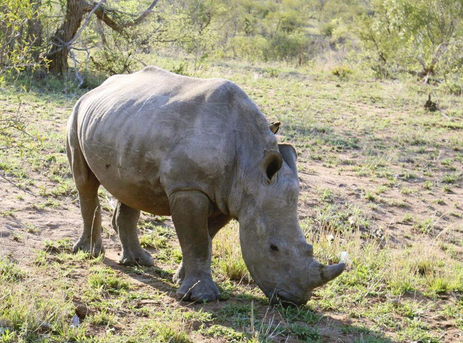 Reise in Südafrika, Begegnung mit einem Nashorn im Krüger-Nationalpark