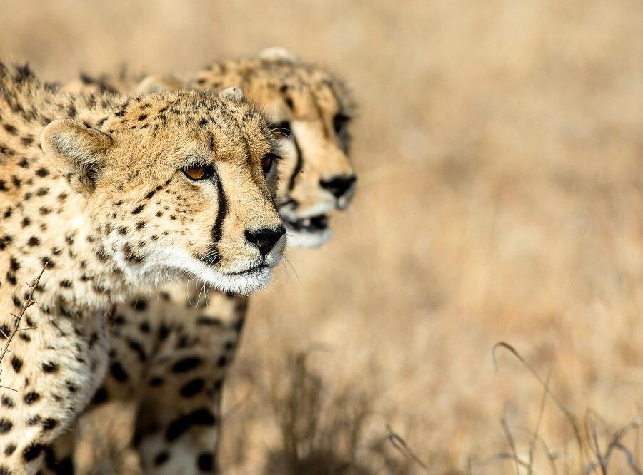 Reise in Südafrika, Geparden  im Krüger-Nationalpark