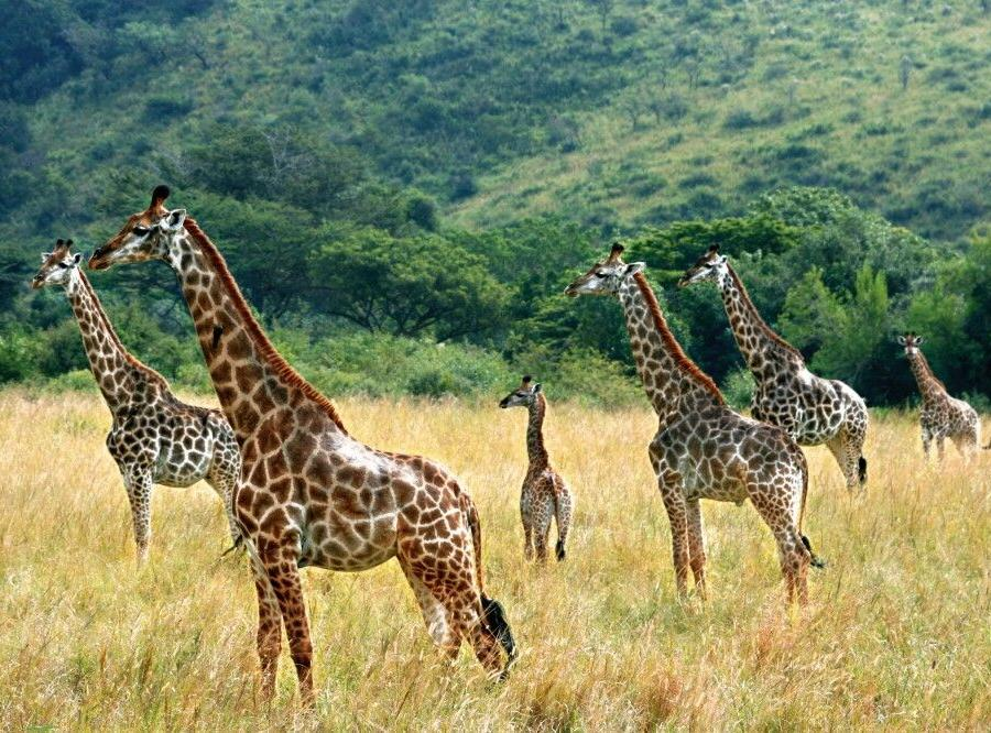 Reise in Südafrika, Giraffen im Krüger-Nationalpark