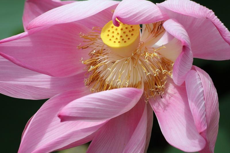 Reise in Suriname, Suriname Lotusblume