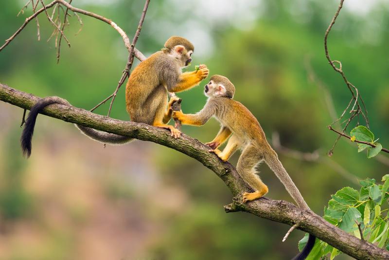 Reise in Suriname, Suriname Totenkopfaffen
