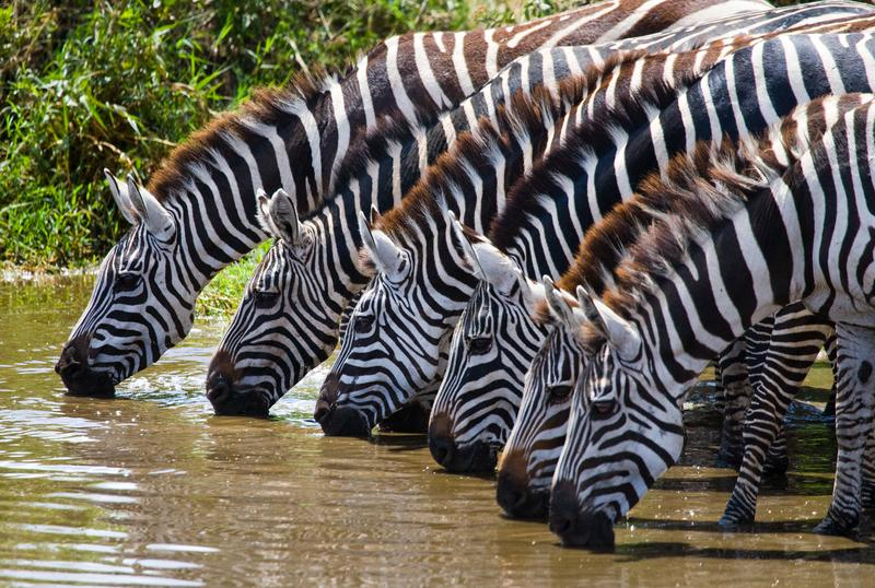 Reise in Tansania, Zebras im Ngorongoro Schutzgebiet in Tansania