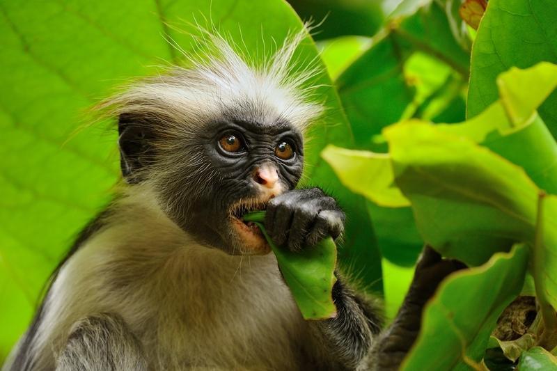 Reise in Tansania, Affe in Tansania