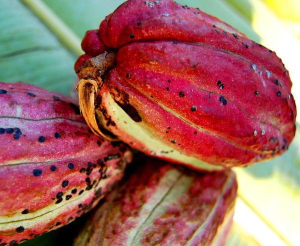 Reise in Tansania, Kakaofrucht auf Sansibar